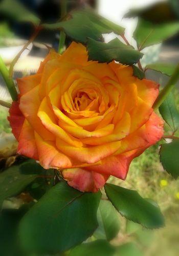 Flower Head Flower Peony  Beauty Leaf Petal Rose - Flower Springtime Soft Focus Blossom A New Beginning