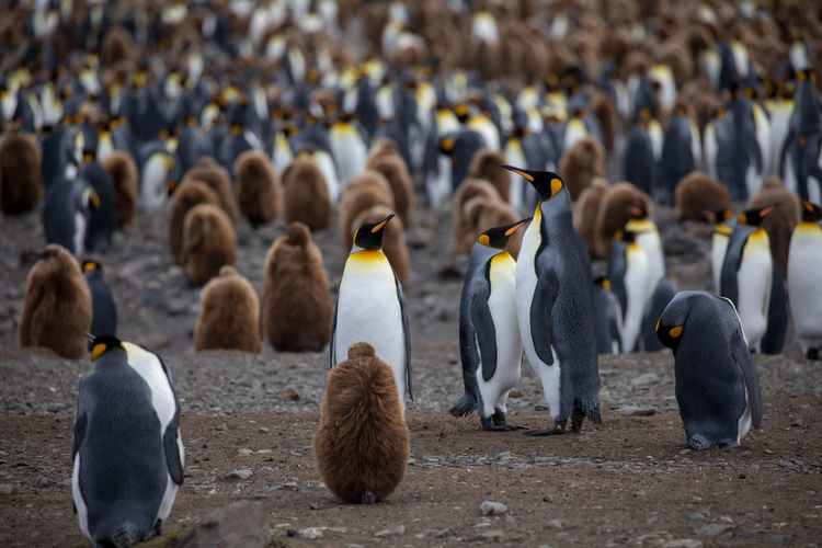 View Of Penguins On Ground