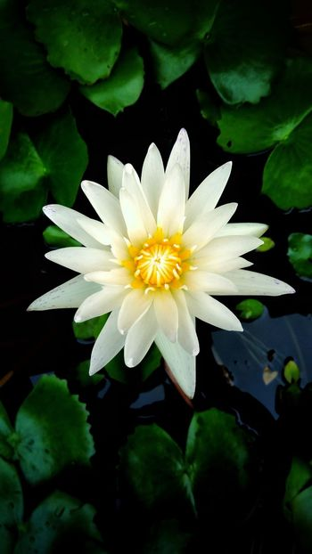 Beautiful lotus Flower Freshness Plant Beauty In Nature Freshness Colorfulflower Colorful Beautiful Nature Flora Floral Beautifulflower  Outdoors Whiteflower Whitelotus Nature Lotus