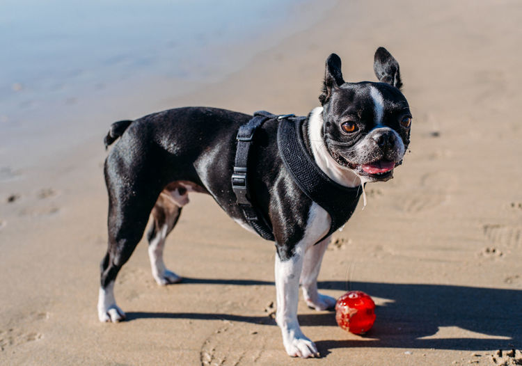 Animal Animal Themes Beach Canine Collar Day Dog Domestic Domestic Animals Focus On Foreground Land Mammal Nature No People One Animal Pet Collar Pets Sand Small Standing Vertebrate
