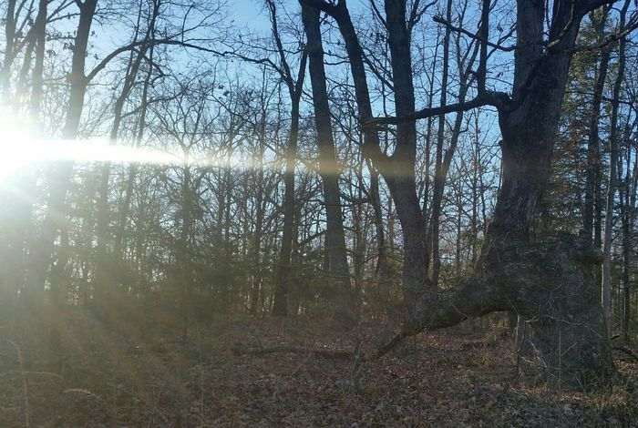 Indian Trail Tree History Traditions Native Tree Formation Unusal Winter Missouri Ozarks United States Tree Forest Nature Beauty In Nature Outdoors Day No People Sunlight Tree Trunk Branch Low Angle View Scenics Sky
