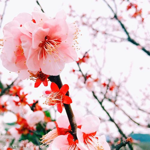 桜 Hello World Enjoy Life Sakura Photography Sakura2018 Japan Scenery Eyeem Japan Photo Beautiful Japan Japan Photography Iphonephotography Spring Has Come. Spring2018 Cherry Blossom Flower Beauty In Nature Blossom Fragility Nature Branch EyeEmNewHere Springtime