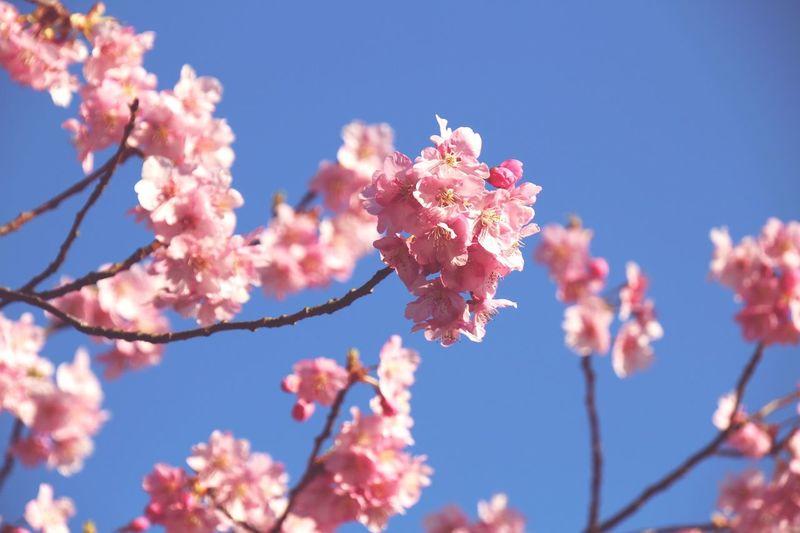 河津桜はまだ早かった
