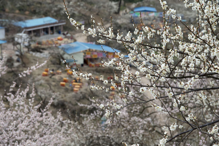 Ume Flower Village in Gwangyang, Jeonnam, South Korea Branch Close-up Day Flower March 2017 Nature No People Outdoors Spring Spring Flowers Tree Ume Flower