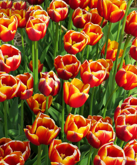 Field of Two color tulips Backgrounds Beauty In Nature Close-up Day Flower Flower Head Flowering Plant Food Food And Drink Fragility Freshness Full Frame Green Color Growth Leaf Nature No People Orange Color Outdoors Plant Red Vulnerability