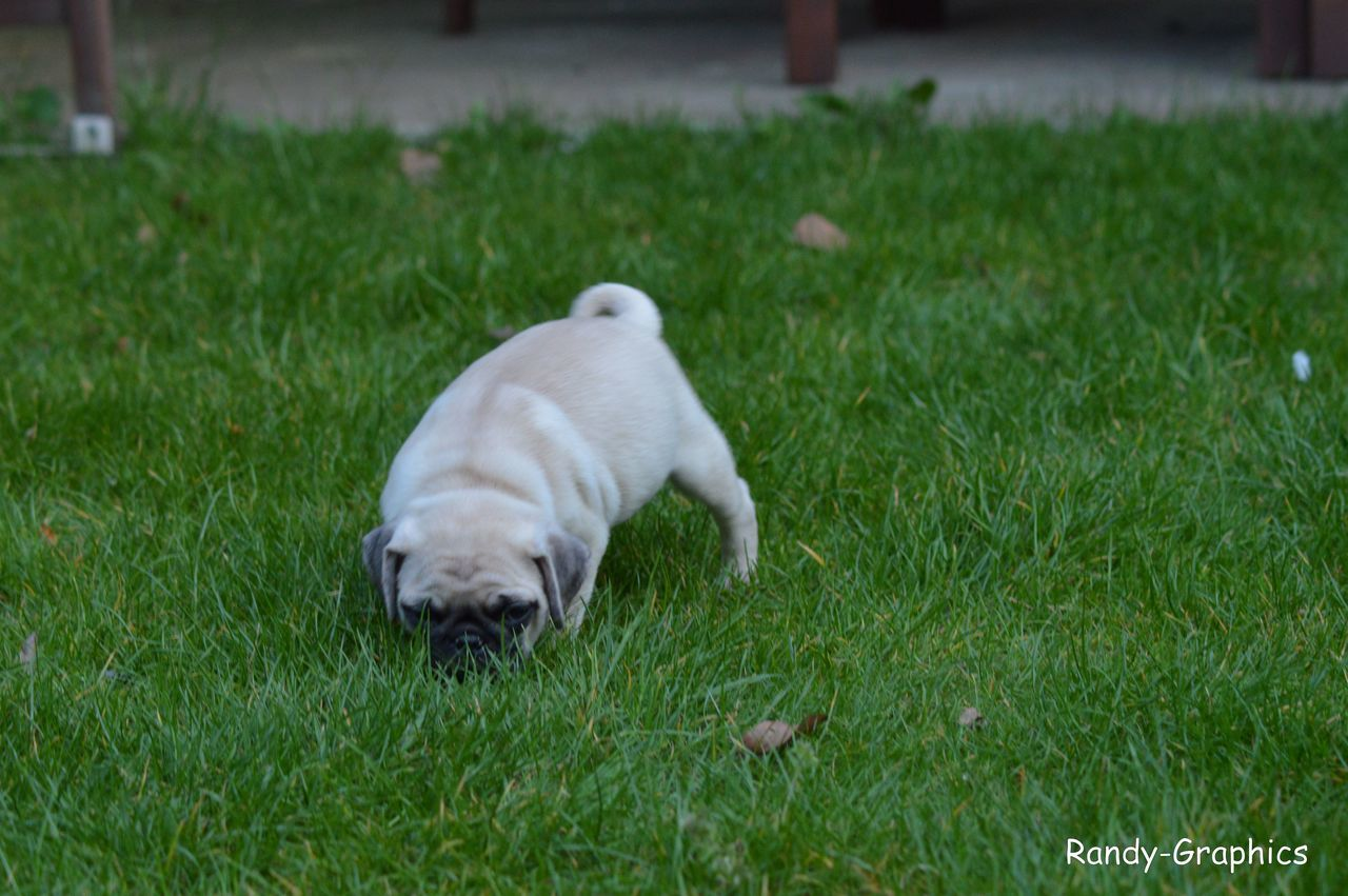 one animal, grass, dog, pets, animal themes, mammal, domestic animals, green color, outdoors, no people, day, nature