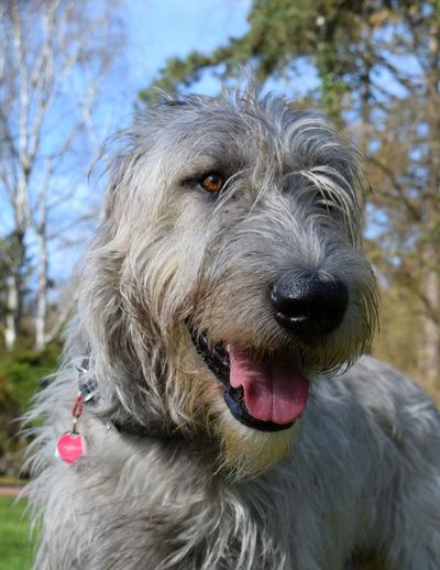 One Animal Dog Close-up Scenics Domestic Animals Looking At Camera Eyes Are Soul Reflection Dogwalk Bokeh Dog Of The Day Dogs Of EyeEm Dogs Of Winter Irish Wolfhound Cearnaigh Dogslife Portrait A Walk In The Park Winter 2017 March 2017 Outdoors