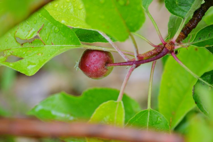 Apple The First One Apple - Fruit Apple Tree Fruit Healthy Eating Leaf Red Close-up Plant Green Color