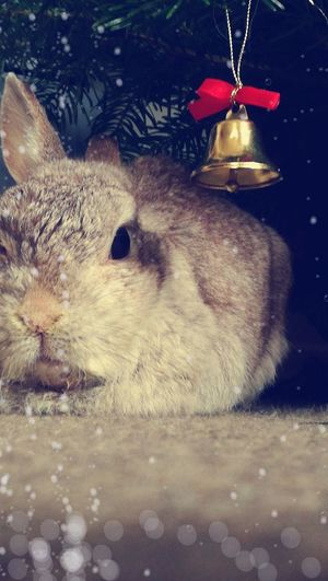 #Bunny #bell #animal #pet #grey #Bubbles No People Animal Themes Day