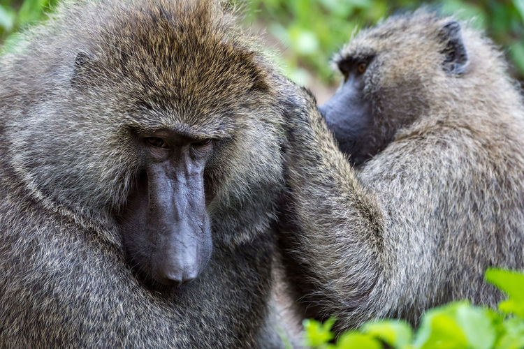 Ape Baboon Close-up Grooming Monkey Olive Baboon Primate