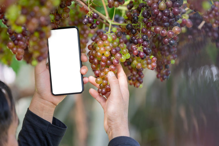 Farmer holding smartphone with empty screen on hand in the grape garden. Finger Outdoors Nature Healthy Eating Day Food And Drink Food Mobile Phone Fruit Lifestyles Communication Focus On Foreground Real People Portable Information Device Wireless Technology One Person Hand Technology Smart Phone Human Body Part Holding Human Hand