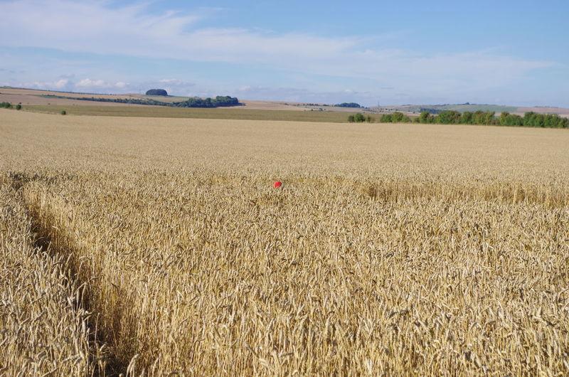 Photograph by Megan Hulatt 2017 , Little Red Hat , Pentax K5 Field Hat Punctum Photography Red Red Hat Childhood Cornfield Crop Circles Exploration Landscape EyeEmNewHere