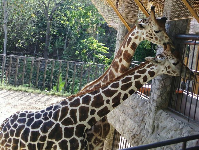 Animal Themes Animal Wildlife Giraffes Outdoors Nature No People Close-up Day Spots