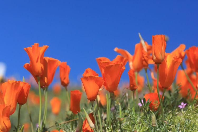Close-up of orange flowering plants on field against blue sky