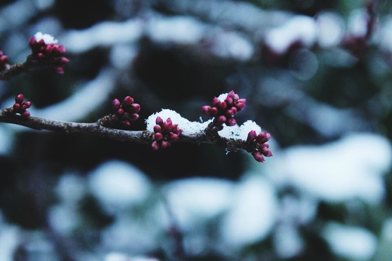 nature, flower, growth, beauty in nature, tree, day, outdoors, fragility, no people, focus on foreground, selective focus, cold temperature, snow, branch, close-up, freshness, winter, fruit, springtime, red, flower head