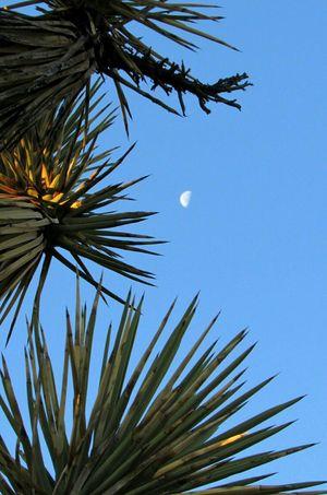 Joshua Tree and Moon, western Mojave Desert, Antelope Valley, California Taking Photos Enjoying Life Mojave Desert BigBiggerBiggest