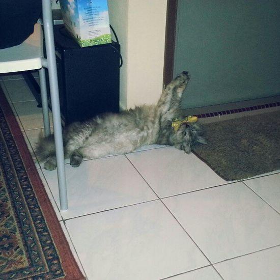 Tolonggg!!! Catlover Catpictureoftheday Catofinstagram Persian
