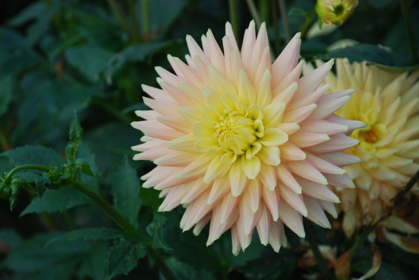 The dahlias spray in the fall once again really fire until the colors for the winter months say goodbye. Every year I am excited about the many colors and shapes of this plant! Dahlie Beauty In Nature Blüte Close-up Flower Flower Head Fragility Freshness Growth Nature No People Outdoors Petal