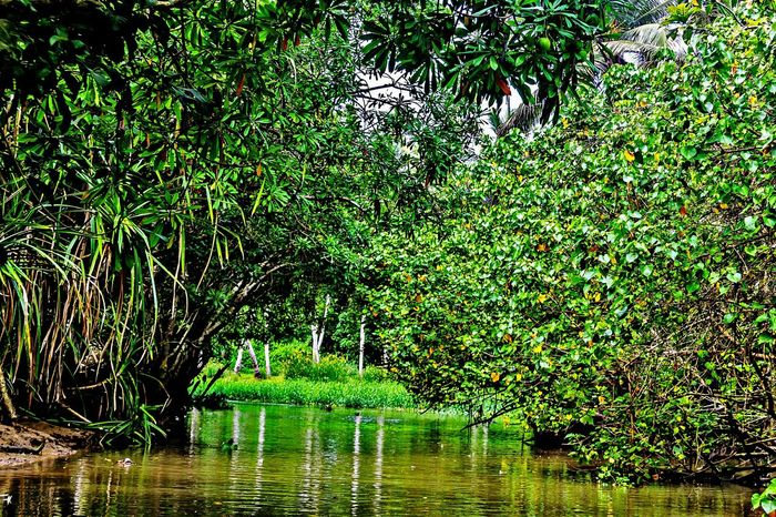 Mangrove Forest Mangofruit Nature Reflection Water Green Color Tree Beauty In Nature Scenics Outdoors No People The Week On EyeEm Day Growth The Way Forward EyeEm Nature Lover EyeEm Gallery Backwaters Of Kerala Poovar