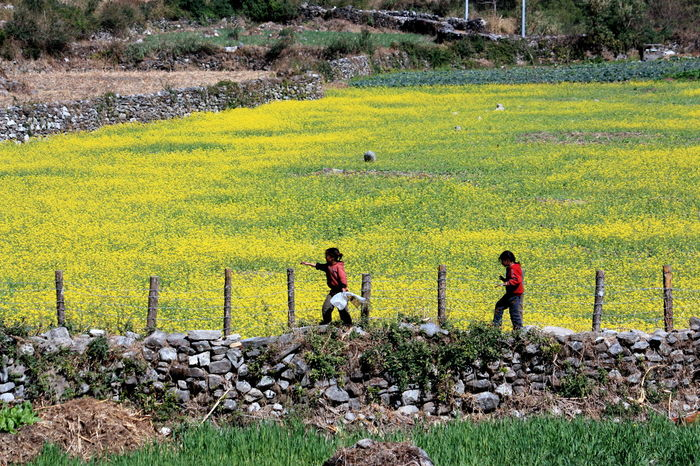 In the mustard field Beauty In Nature Field Mustard Fields Nepal Non-urban Scene Outdoors Remote Rural Scene Tranquil Scene Yellow Yellow Flowers Colour Of Life
