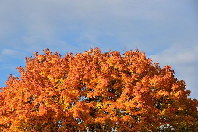 Autumn Change Outdoors Nature No People Sky Day Multi Colored Landscape Beauty In Nature Tree Red Himmel Spazieren Und Fotografieren Genießen Herbst🍁 Herbst-Impressionen 🍁 Herbstfarben Herbststimmung Blätterpracht Farbenspiel Blauer Himmel Sonne