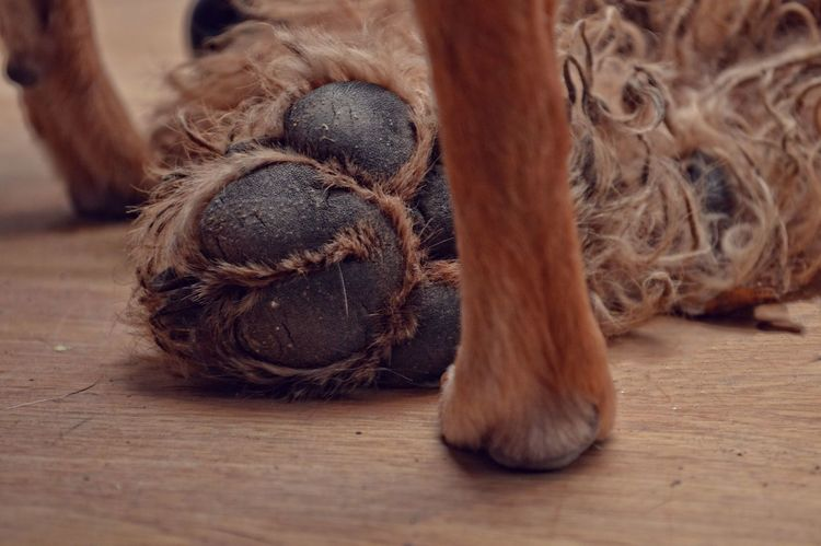 Animal Themes Brown Close-up Dog Dog Paw Dogs Paw Domestic Animals Hondenpoot Indoors  Paw Poot Smallandbig Litlle BIG Airedale Creativity CreativePhotographer Creative Power