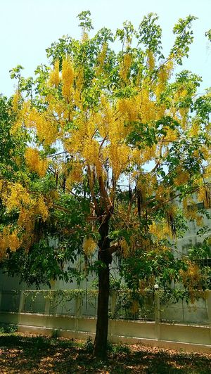 gloden shower tree Gloden Shower Tree Sky Growing Countryside Toadstool Greenery Flora Blossoming  Vegetation Green Stalk Country House Lakeside Grassland Fungus Young Plant Woods Leaves Tranquil Scene Calm Tranquility Stream Tree Trunk Branch
