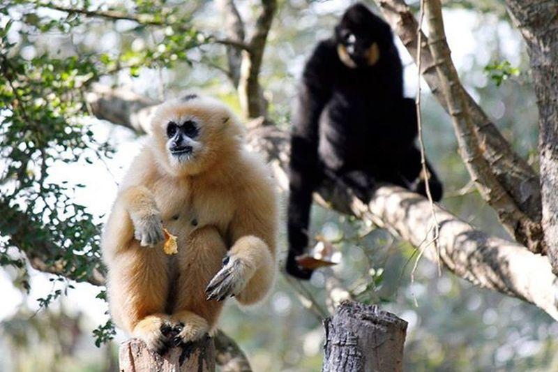 Gibbons Wildlife Primates Monkeybusiness  Lifeasiseeit Johnnelson Vientiane Laospdr Southeastasia