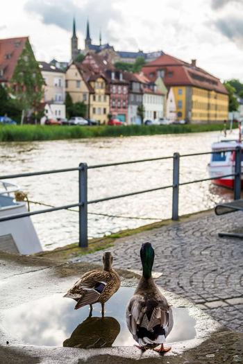 Mallard ducks on puddle by canal