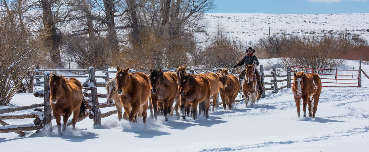 Feb 2019 - Music Meadows Ranch Colorado Cowboy Cowboy Hat Snow Winter Cold Temperature Animal Themes Herd Of Horses Paddock Livestock Horse Themes Domestic Animals Animal Wildlife Horse Field Day Medium Group Of Animals Outdoors Group Of Animals Land Tree Nature Fence Domestic Warm Clothing Herbivorous
