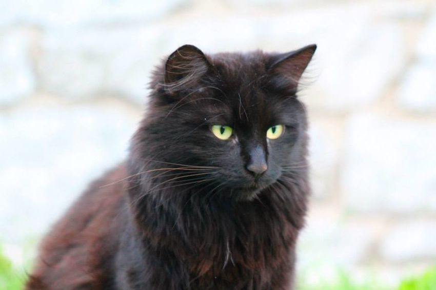 Domestic Cat Pets Feline One Animal Black Color Domestic Animals Mammal Animal Animal Themes Whisker Eye Animal Hair Yellow Eyes Focus On Foreground Portrait Looking At Camera No People Close-up Day Outdoors
