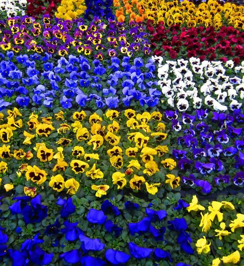 Violets Colours Of The Netherlands Red - White And Blue Lovemillionsflowers Flowerforfriends 💖💝 Colorful Flowers Noedit Beautiful