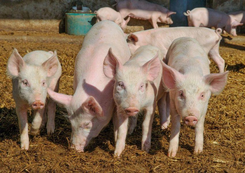 Pig Farm Pigfarm Ecologic Happy Pigs Glada Grisar