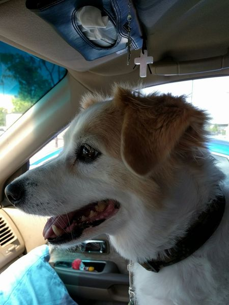 Daisy the older sister, almost to our new home in Chicago. Dog Traveller Feel The Journey Pet Portraits
