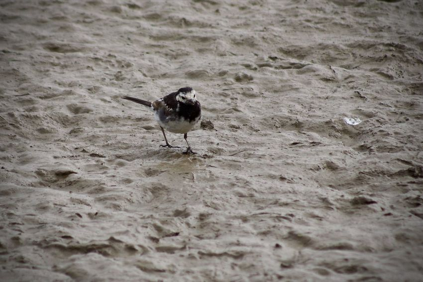 Wagtail Animal Animal Themes Animal Wildlife Animals In The Wild Beach Bird Day Land Nature No People One Animal Outdoors Perching Piedwagtail Sand Sea Seagull Selective Focus Vertebrate Water