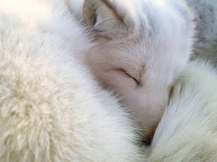 Close-up of arctic fox sleeping