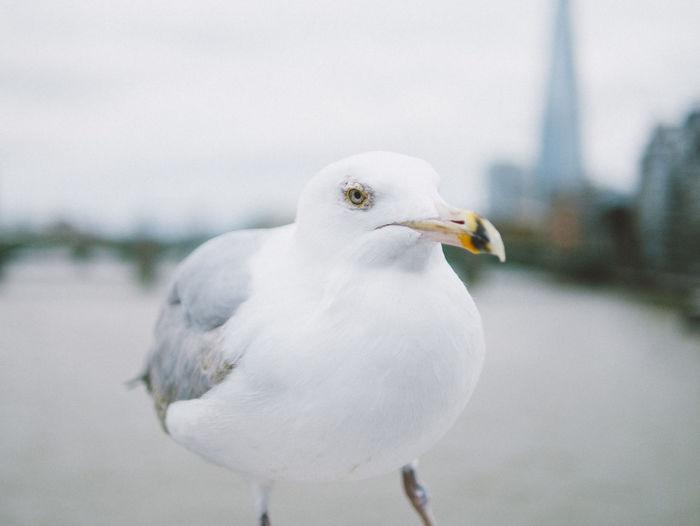 dont mess with this bird Bird Millenium Bridge Seagull