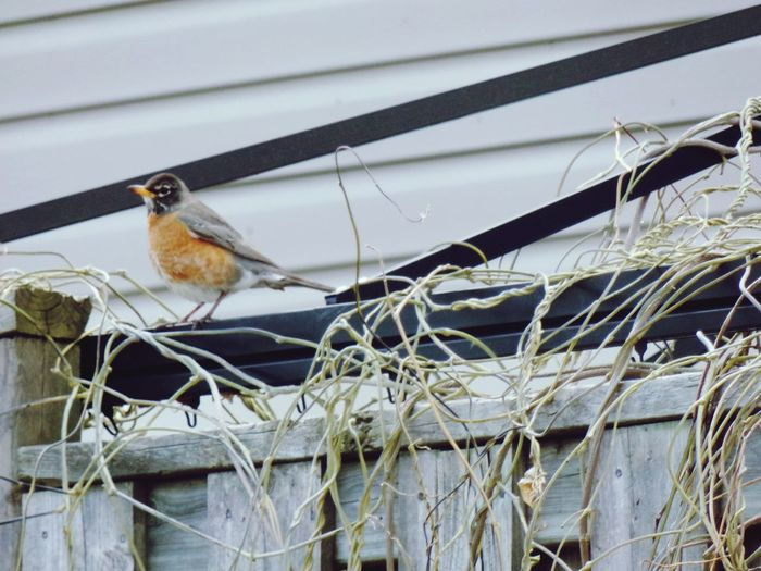 Robin is spying on me because I have a camera pointing it! Robin Neighborhood Urban Earlier Spring Fences Ajax Ontario EyeEm Selects Bird Perching Close-up
