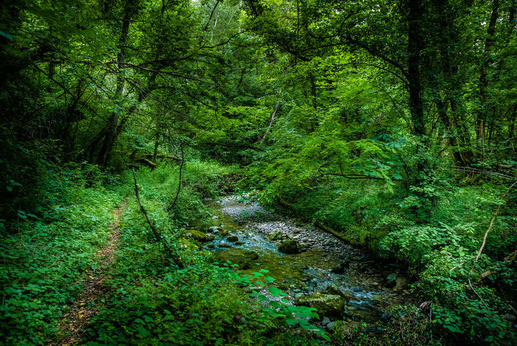 Plant Forest Tree Land Green Color Tranquility Growth Beauty In Nature Nature No People Scenics - Nature Day Foliage WoodLand Tranquil Scene Lush Foliage Water Non-urban Scene Outdoors Environment Stream - Flowing Water Flowing Flowing Water Rainforest