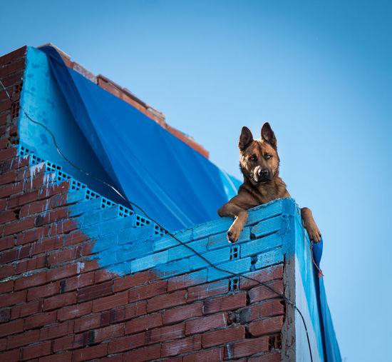 One Animal Dog Pets Canine Mammal Domestic Domestic Animals Blue Animal Themes Animal Vertebrate Sky Low Angle View No People Day Looking At Camera Nature Portrait Clear Sky Wall Brick Small Animal Head