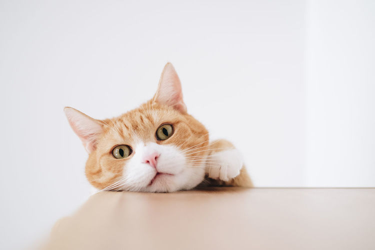 Portrait of a cat against white background