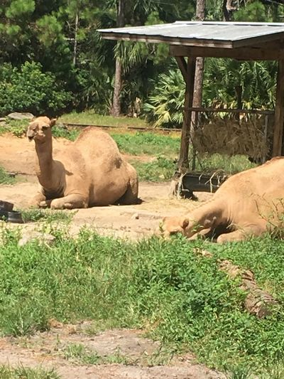 Animal Themes Mammal Grass Field Day Camel Zoo No People Relaxation Young Animal Outdoors Nature Grazing Tree