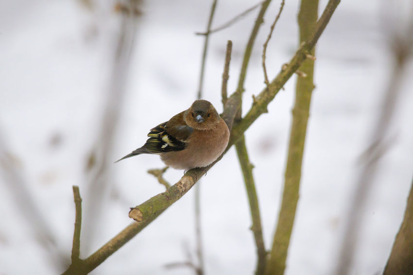 A male chaffinch is sitting on a branch with fluffed plumage on it Animal Themes Animal Wildlife Animals In The Wild Beauty In Nature Bird Branch Close-up Cold Temperature Day Focus On Foreground Nature No People One Animal Outdoors Perching Robin Snow Sparrow Tree Winter