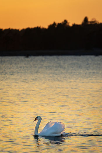 A lone swan at