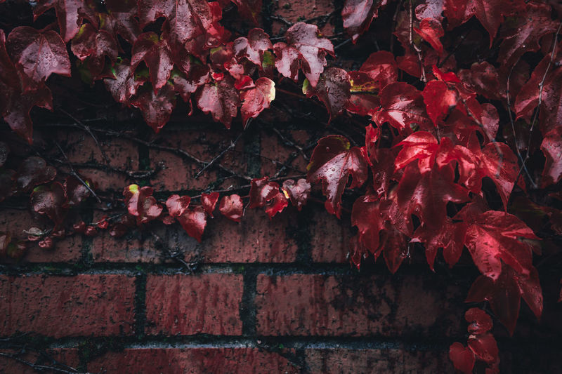Close-up of red maple leaves against wall