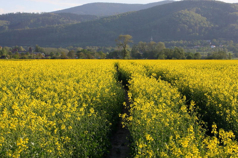 yellow fields and mountains Abundance Agriculture Beauty In Nature Crop  Environment Farm Field Flower Flowerbed Flowering Plant Growth Land Landscape Nature No People Oilseed Rape Outdoors Owlmountains Plant Rural Scene Scenics - Nature Springtime Tranquil Scene Tranquility Yellow