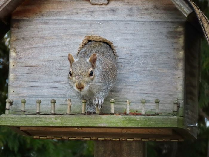 Squirrel coming out of the house facing the camera closeup animal themes EyeEm nature lover Animal Wildlife One Animal Rodent No People