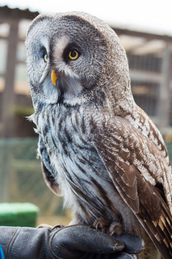 Cropped image of falconry with great gray owl