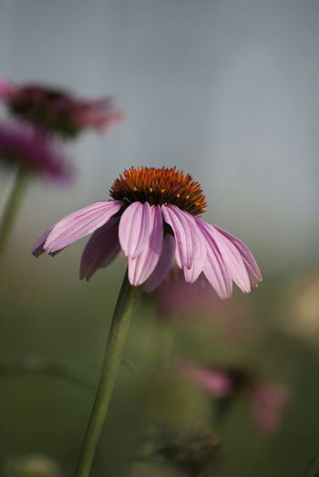 Flowering Plant Flower Fragility Vulnerability  Plant Freshness Petal Beauty In Nature Close-up Growth Focus On Foreground Inflorescence Flower Head Pink Color Plant Stem Coneflower No People Nature Pollen Outdoors Purple Sepal