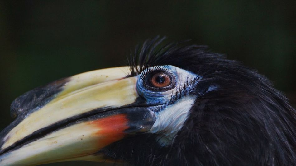 Bird Beak One Animal Close-up Hornbill Animal Themes Animal Head  Focus On Foreground Animal Wildlife Animals In The Wild No People Feather  Portrait Day Macaw Outdoors Nature Oriental Pied Hornbill Oriental Pied-Hornbill